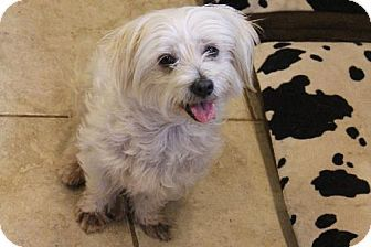 Helotes Tx Shih Tzu Maltese Mix Meet Patsy A Dog For Adoption