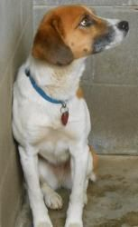 #KENTUCKY #URGENT ~ Honeydoo is a med sized #adoptable female Beagle dog in #Stanford. This shelter euthanizes weekly due to overpopulation. Thank you for considering a shelter dog. If you're interested in #adopting him e-mail Hillary at hillary_c@bellsouth.net - please understand that there is only 1 volunteer who monitors this site . Please be patient. Please do not crosspost on Craigs list. #Adopt Honeydoo at the Lincoln County Animal Shelter