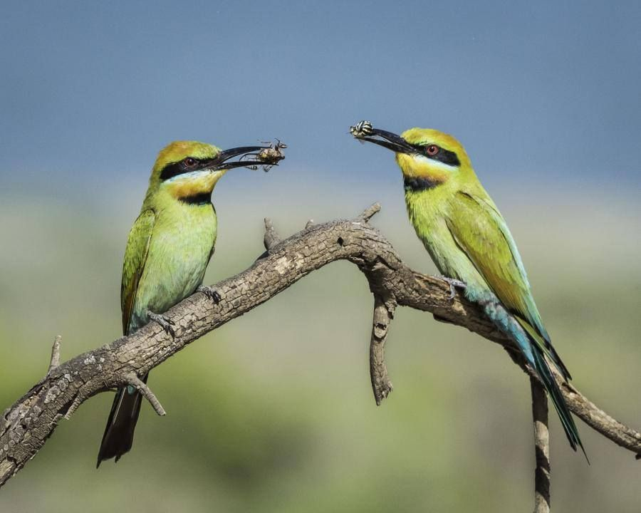 Rainbow Bee Eaters Merops Ornatus In Australia By Bill Belson Facebook Com Australia Animals Australian Fauna Australian Birds