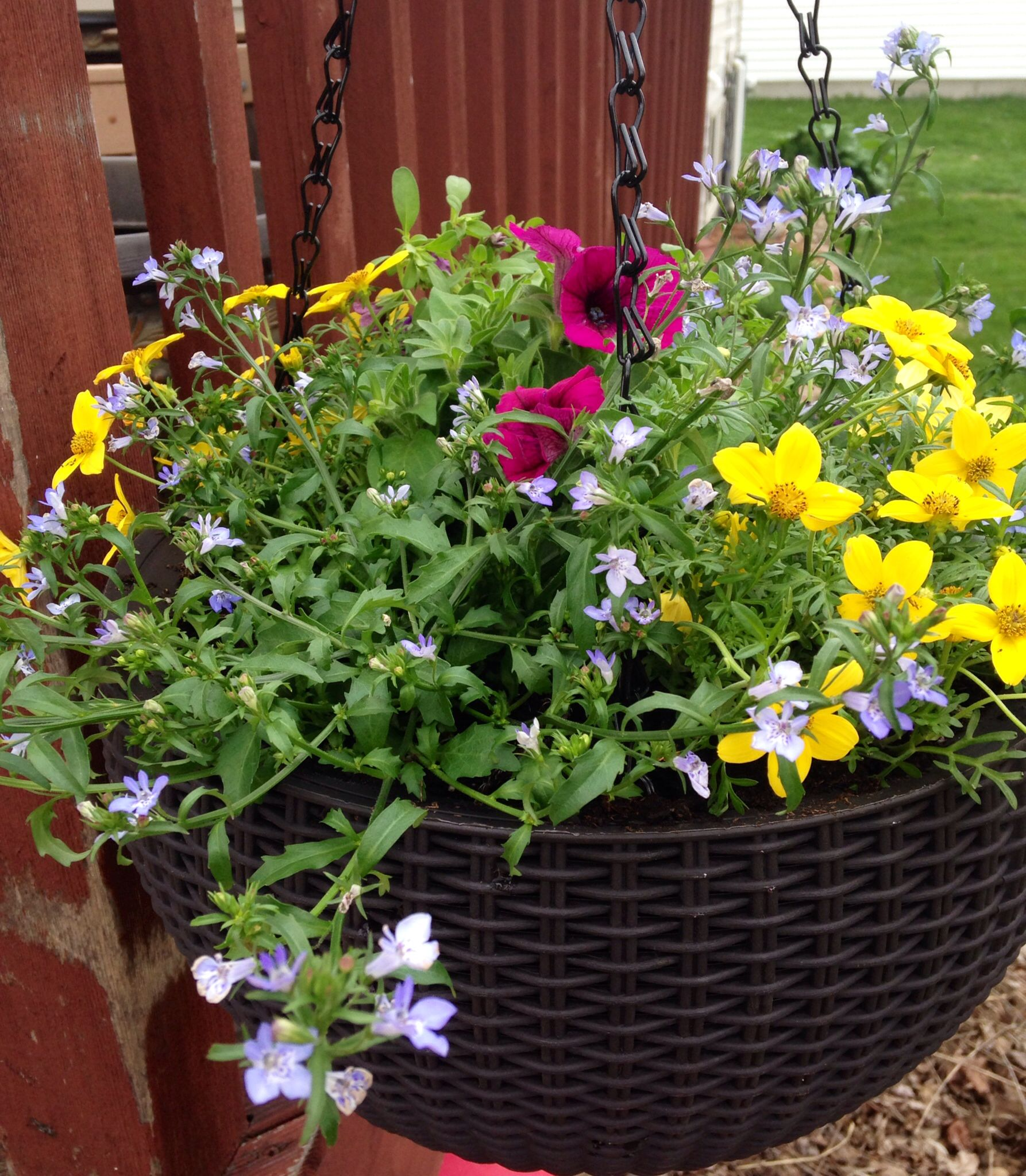 May 10 This Hanging Basket Contains Namid Bidens Early Yellow