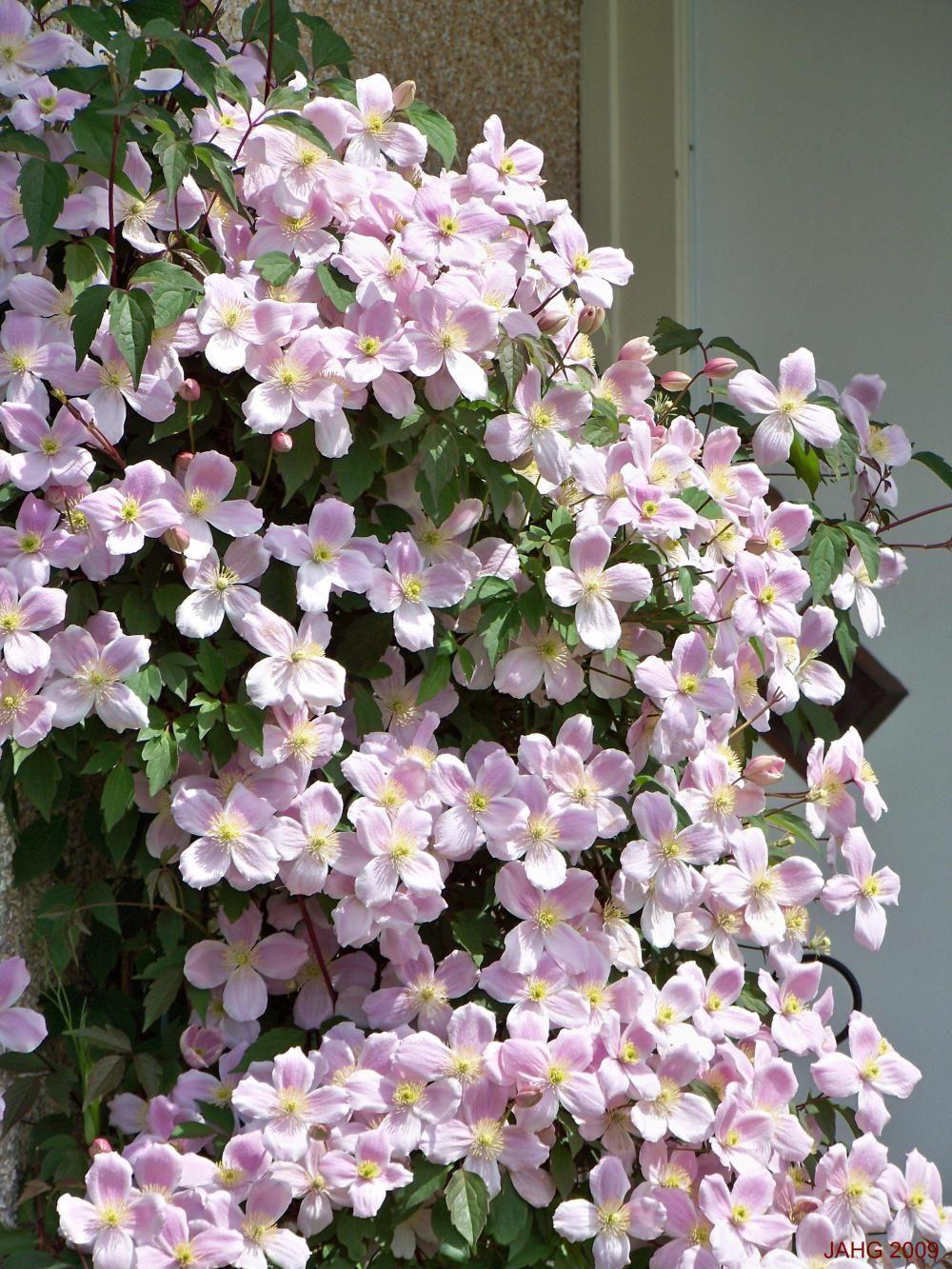Delicate Yet, So Dangerous. Clematis montana, Flowering