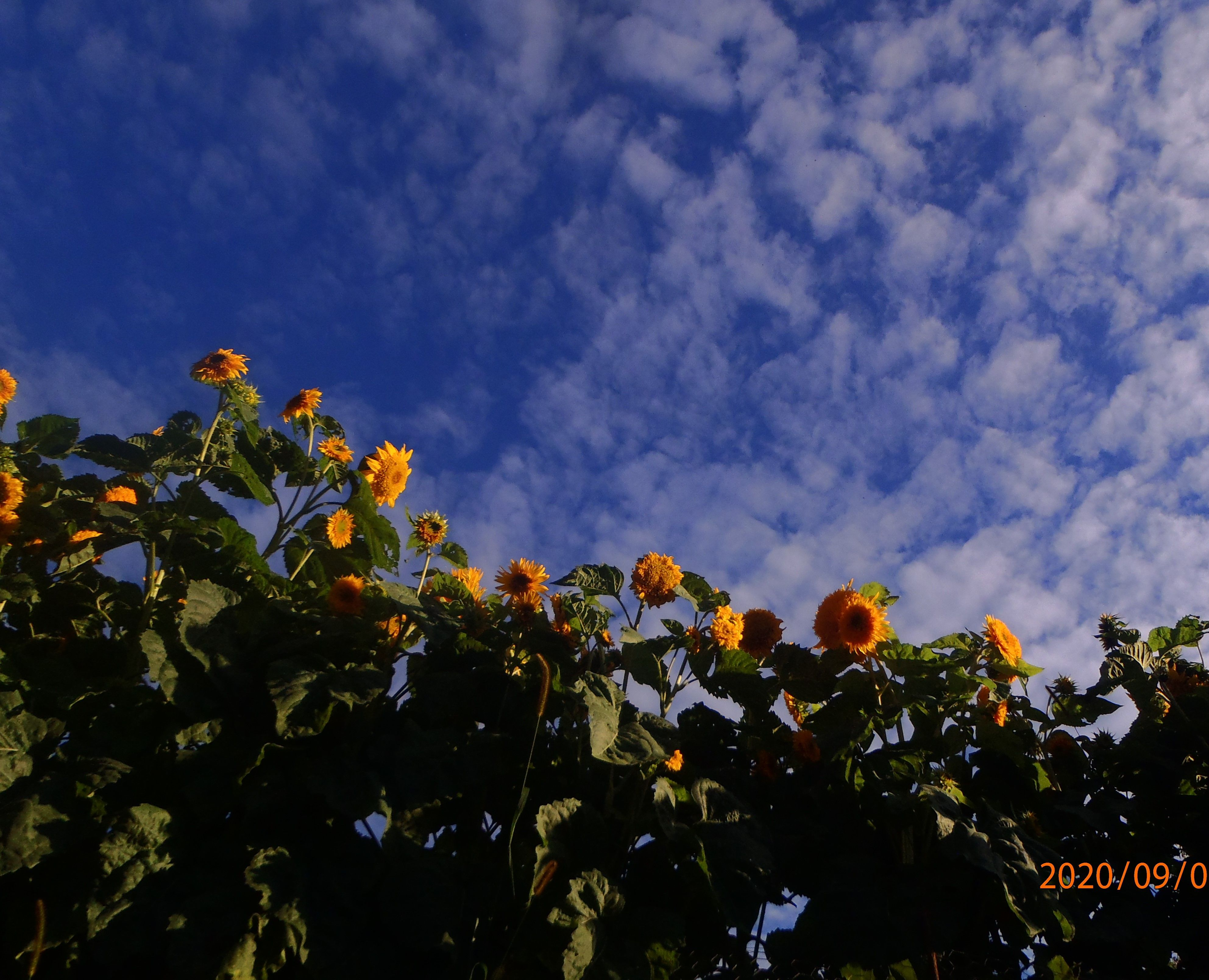 Sunflowers in 2020 clouds sunflower outdoor