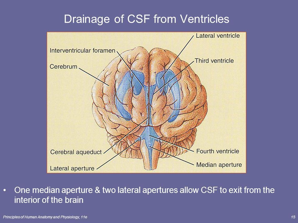 Image result for anatomy of cvos and ventricles | brains | Pinterest ...