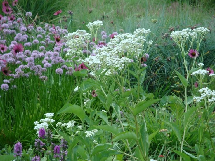 Pin by Annamarie Hope on Apothecary Annual plants, Hardy