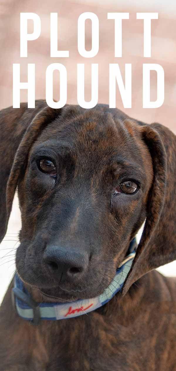 Plott Hound – Stately Hunting Dog Or Loveable Low Key Pet? #plotthound