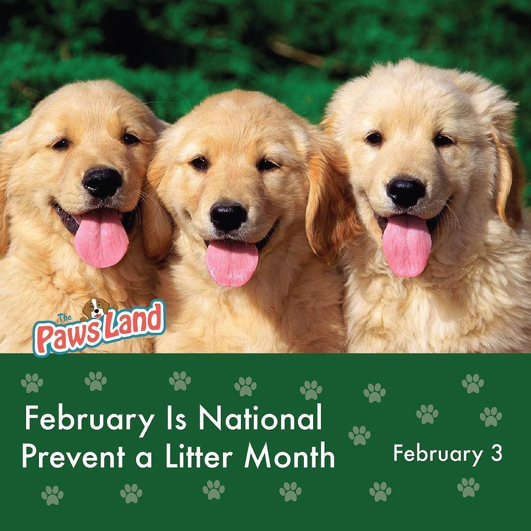February Is National Prevent A Litter Month And A Vitally Important Time At North Shore Animal League Americ Cute Dog Wallpaper Golden Retriever Dog Wallpaper
