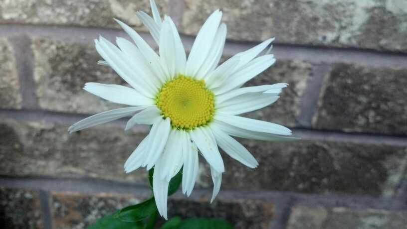 White Daisy By A Brick Wall