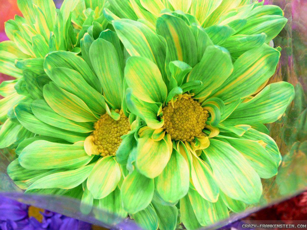 Green Flower Hellebores Light Flowers Wallpaper