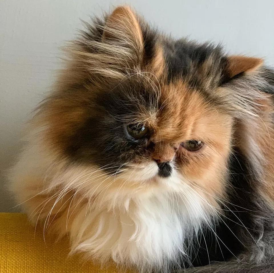 12 Stunning Persian Cats Persian Cat Persian Kittens Persian Cat White