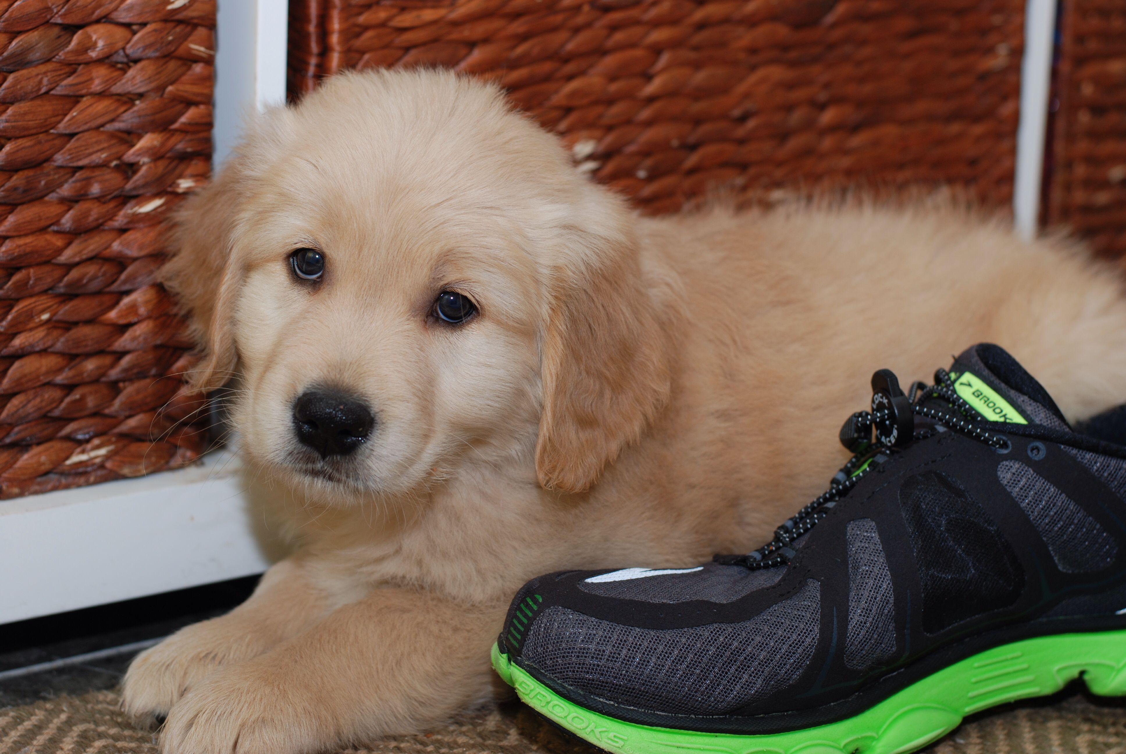 Walter the golden retriever puppy. Golden retriever