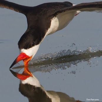 The graceful Black Skimmer has an exasperating problem when it drops an anchovy, silverside or killifish onto the ground. https://goo.gl/mClEk6