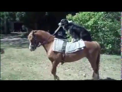Hekan Border Collie works his pony