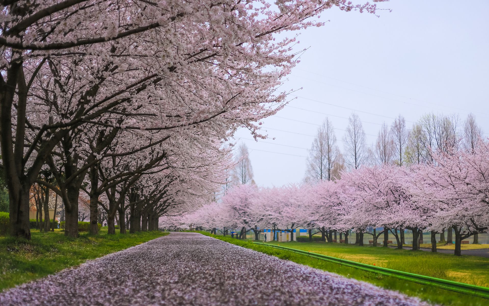 Cherry Blossom Tree HD desktop wallpaper Widescreen High