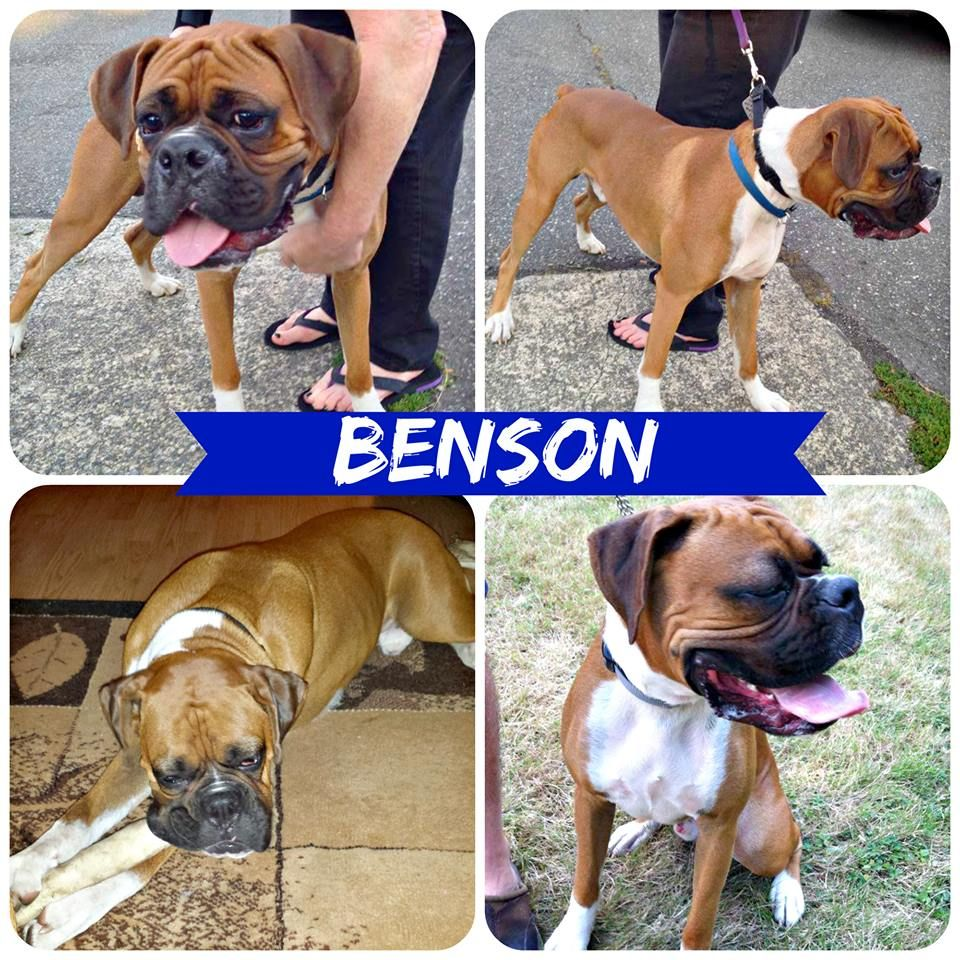 Benson has been adopted!! Boxer love, Boxer dogs, Crate