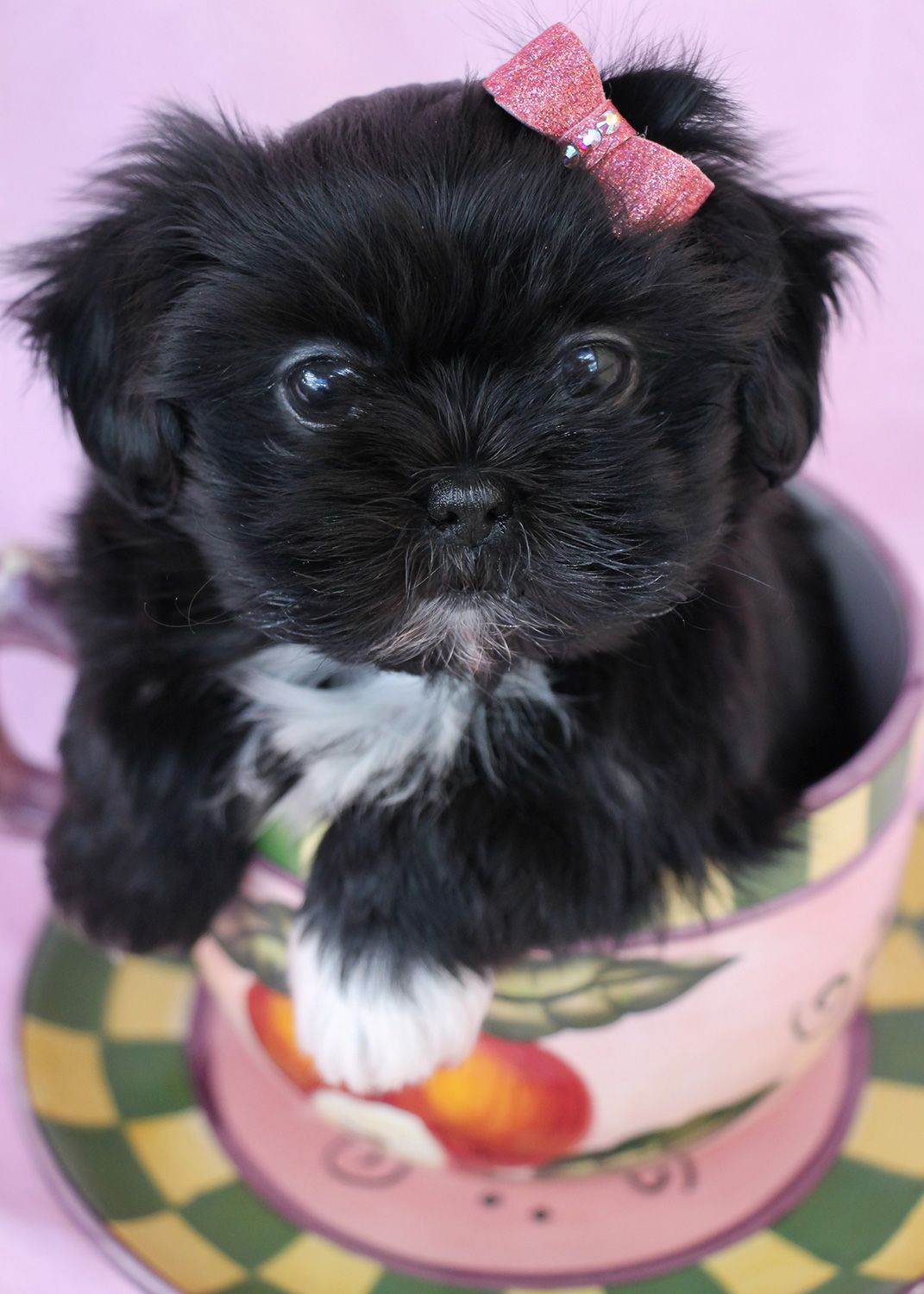 Teacup Shih Tzu Puppies For Sale Guide Pets News And Review