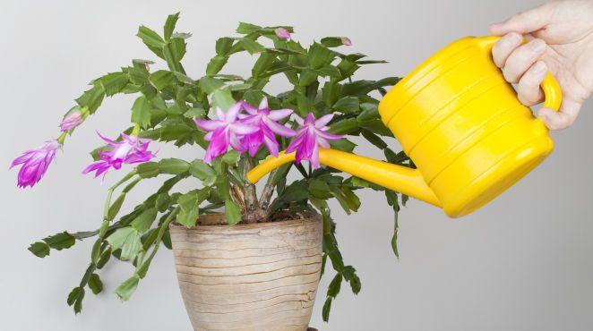 Grüner Daumen: Wie gießt man Zimmerpflanzen richtig ...