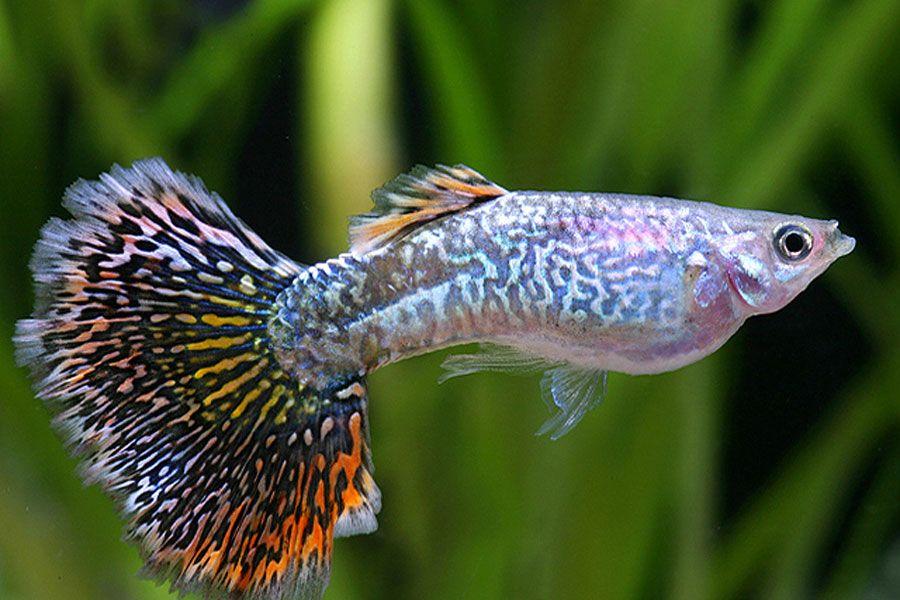Snakeskin Mosaik Guppy Zierfische Mosaik