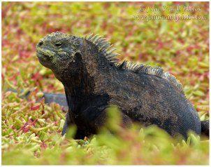 Galapagos land iguana.  Photograph by John Swank.