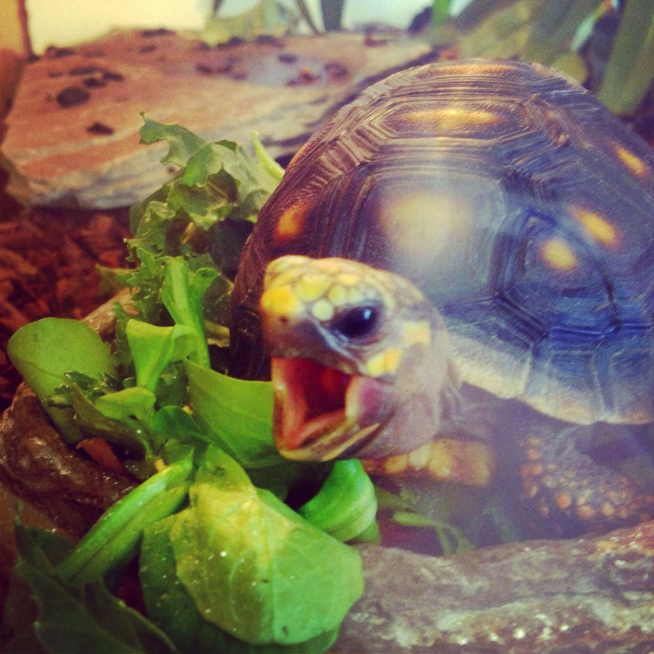 Redfooted tortoise taking a big bite at Northampton