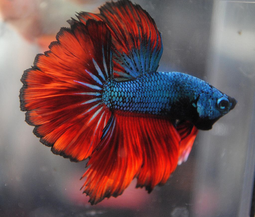 Red And Blue Betta Fish Aquatics Pinterest Betta Fish Betta
