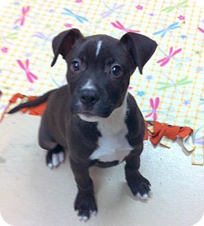 Battle Creek Mi Boxer Labrador Retriever Mix Meet Riff A Puppy For Adoption Http Www Adoptapet Com P Puppy Adoption Labrador Retriever Mix Dog Adoption