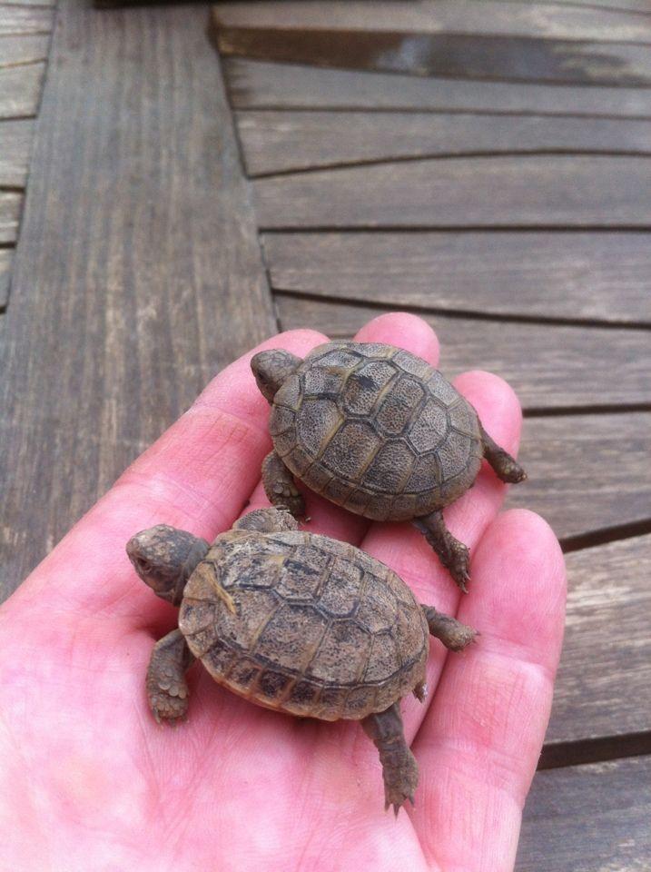 bébés tortues du jardin