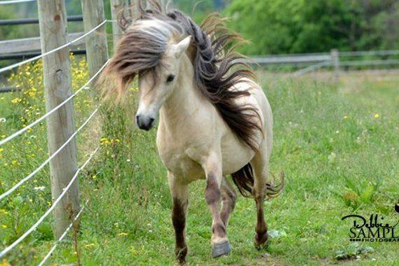 mini butter-milk buckskin stallion....LOVE the mane!