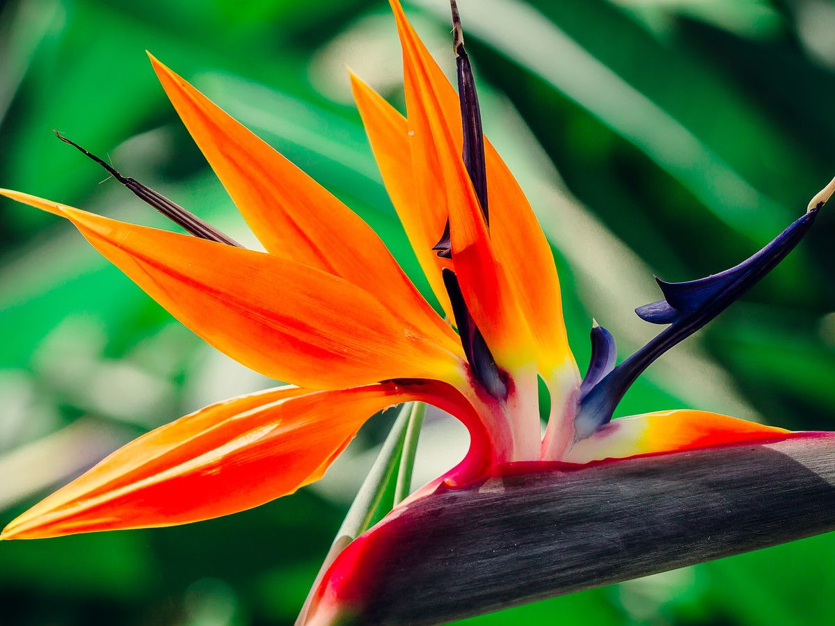 All About Bird Of Paradise Plants Birds Flowers That Attract Hummingbirds