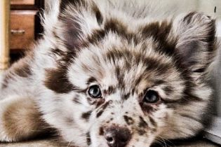Aussiepom Mini Australian Shepherd Szpic Miniaturowy Beautiful Dog Breeds Dog Crossbreeds Cute Dogs Breeds