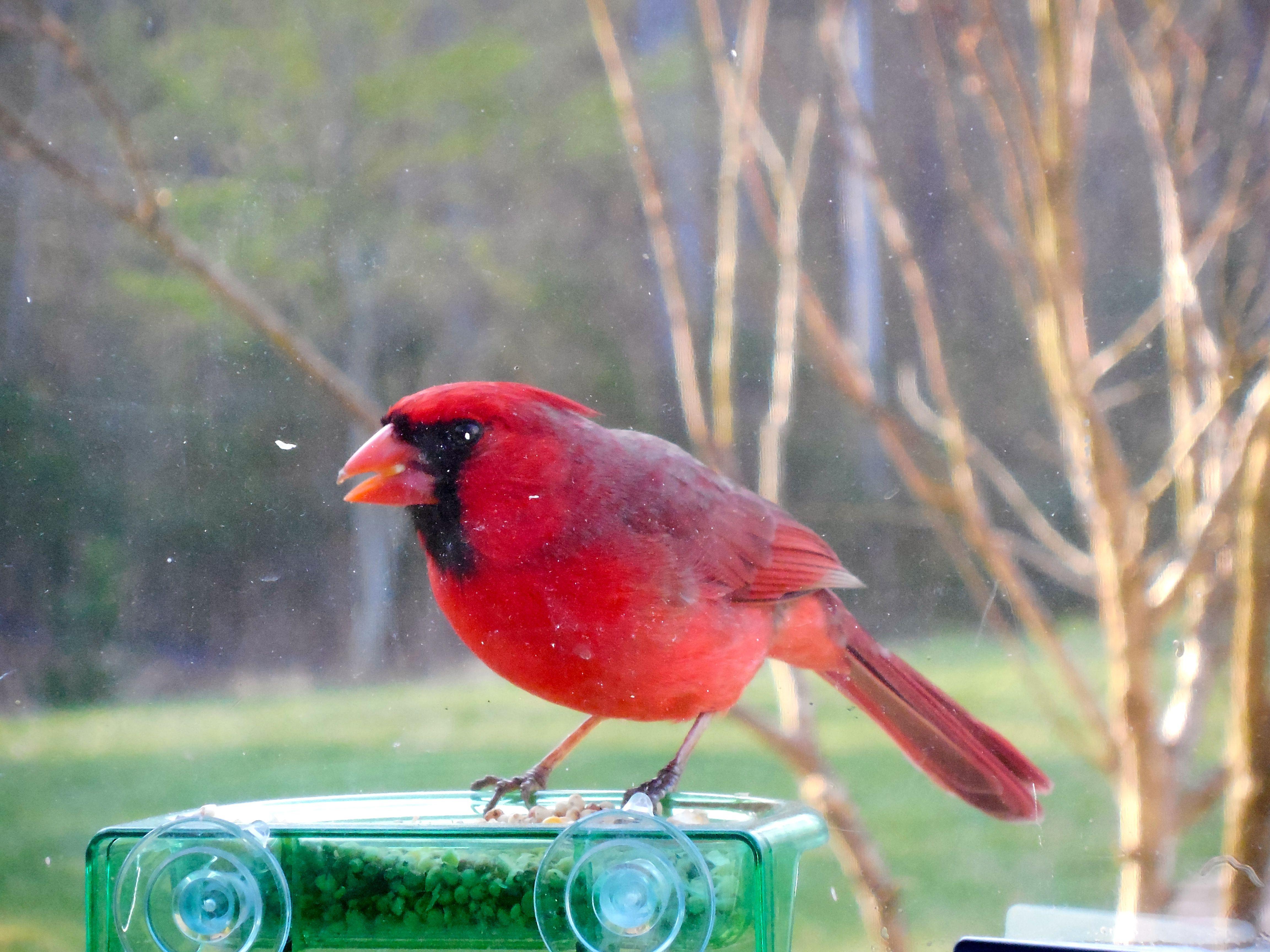 Backyard cardinal view from my home office animals birds