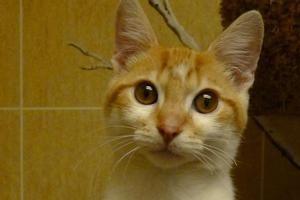 Pin On Knoxville Tn Domestic Shorthair Meet Echo A Kitten