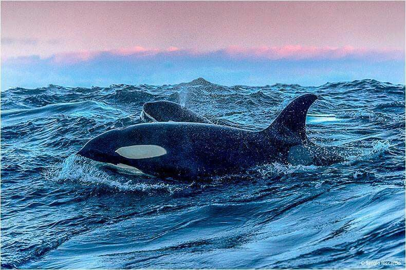 Some Orca Photo's Look Like Paintings. #OrcaArt photo by Sergio Riccardo