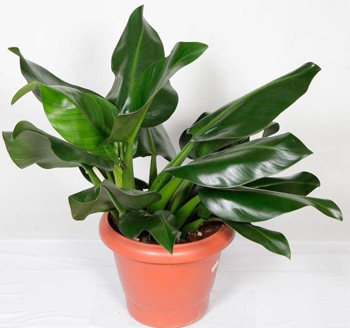 5 plantas para ambientes fechados que limpam o ar da for Planta filodendro