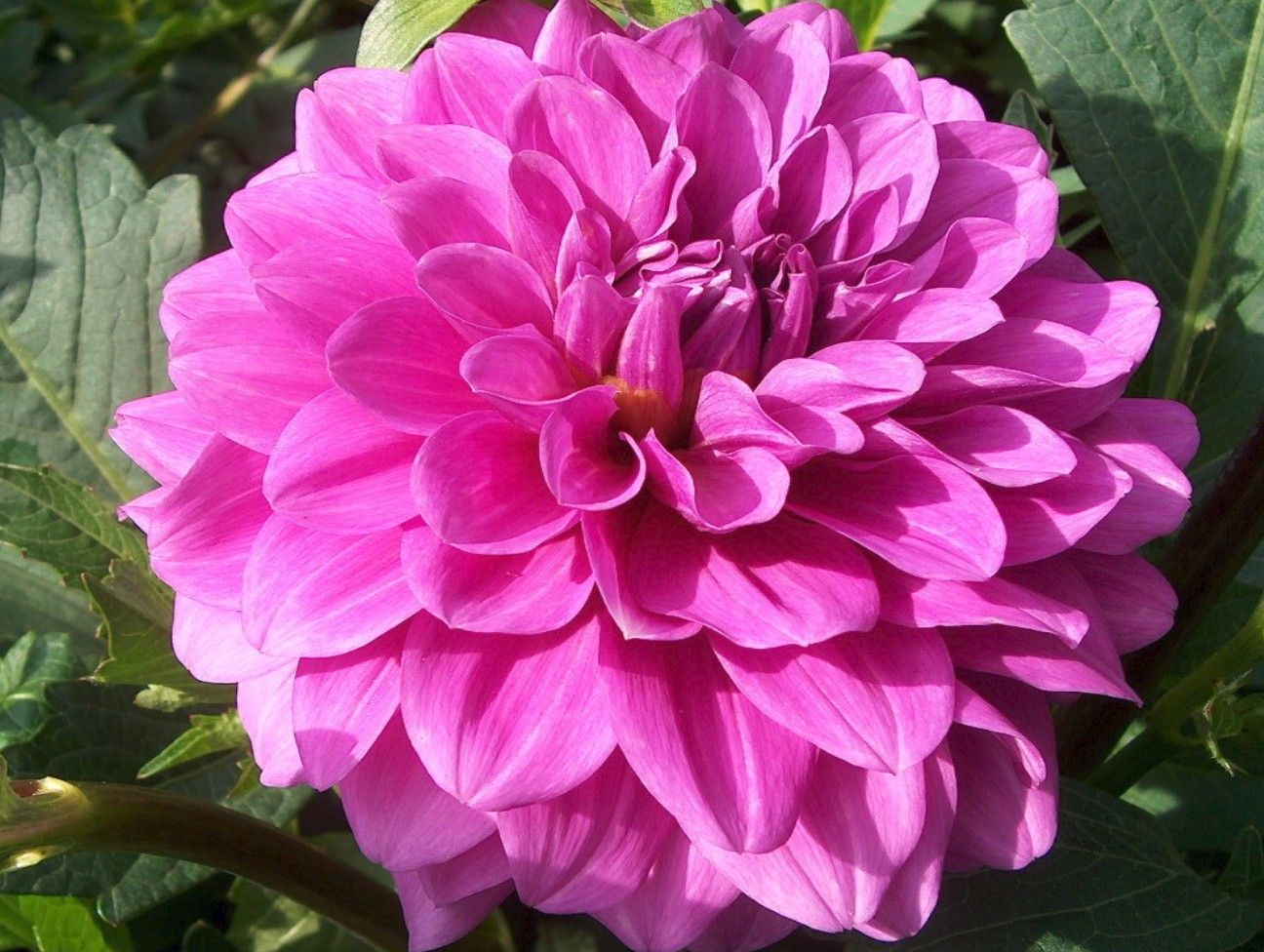 Dahlior sk p google flowers pretty pinterest dahlia dahlias come in many sizes and vigor of plants flowers vary in size type color and number mightylinksfo