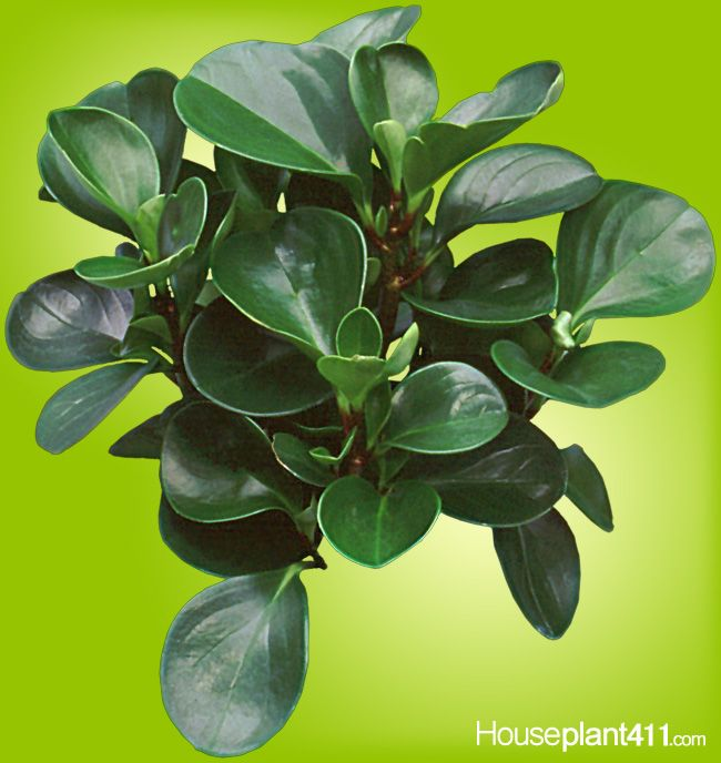 Over 1000 Varieties Of Peperomia Plants, All Semi Succulents With Thick  Leaves. Http
