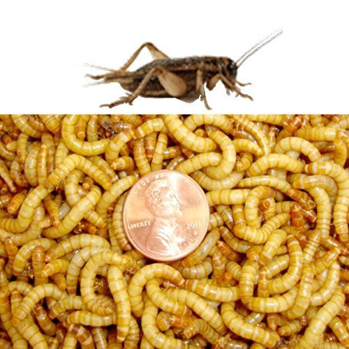 1100 Count Live Mealworms Organically Grown By Gimminy Crickets Worms Insectes Comestibles Insectes Poulailler