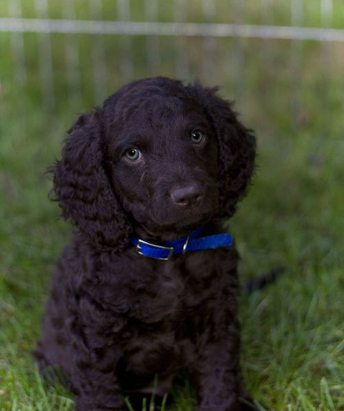 American Water Spaniel Puppy American Water Spaniel Spaniel Puppies Irish Water Spaniel