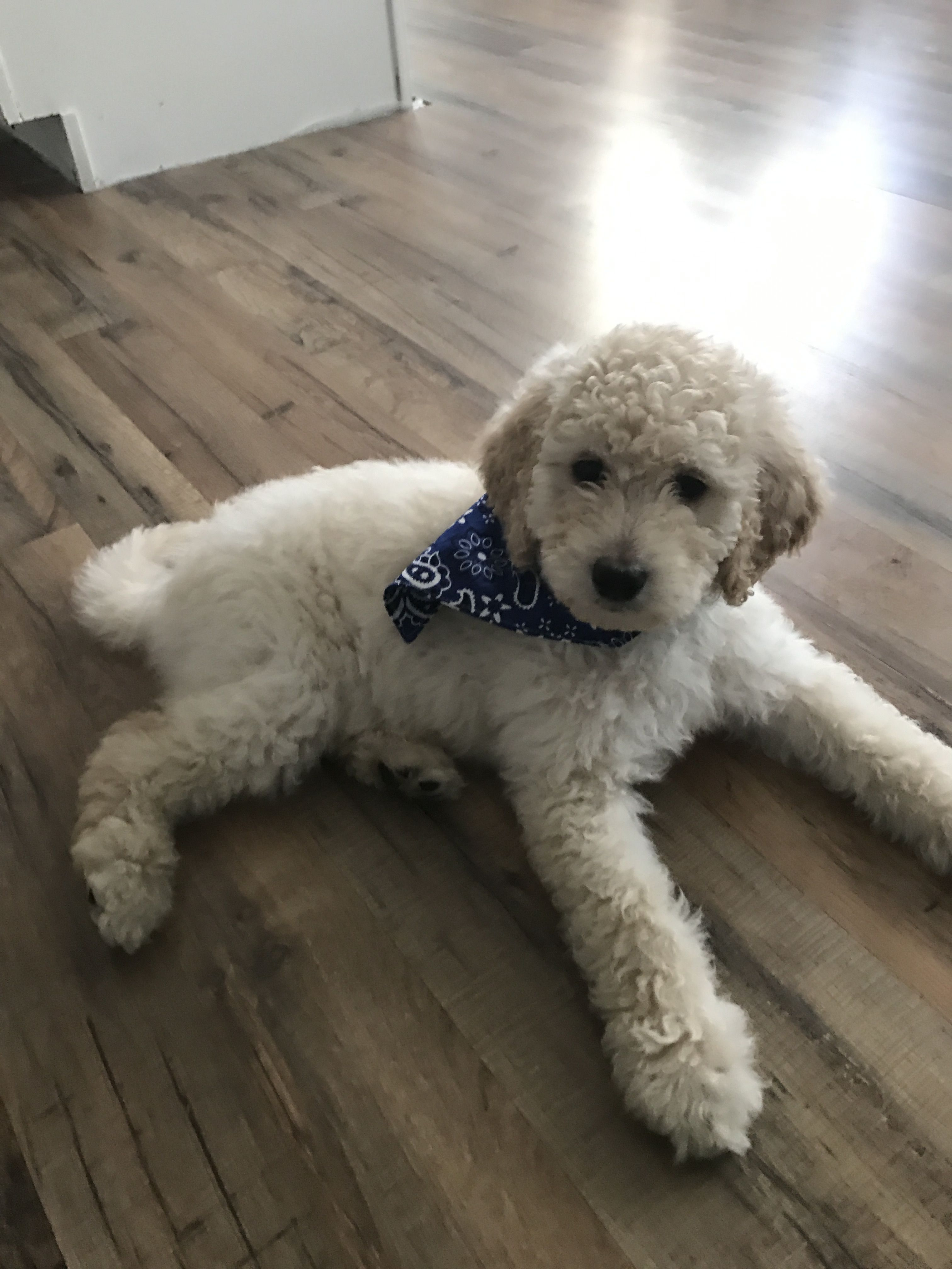 8 Week Old Labradoodle 9 9lbs He Has Been A Great Puppy Other