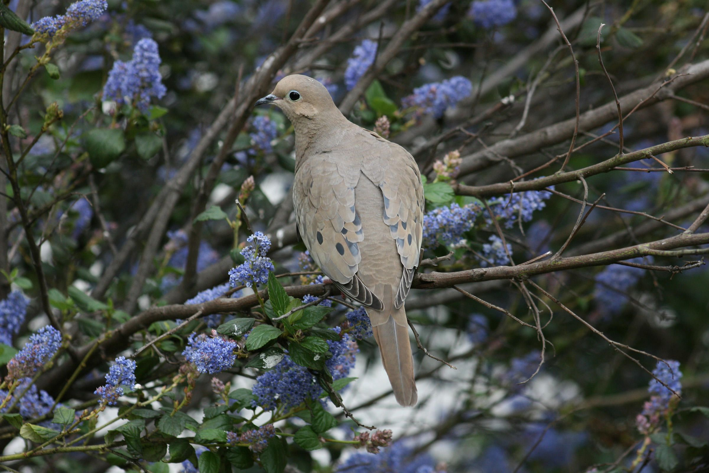 the mournful cooing of the mourning dove is one of our most