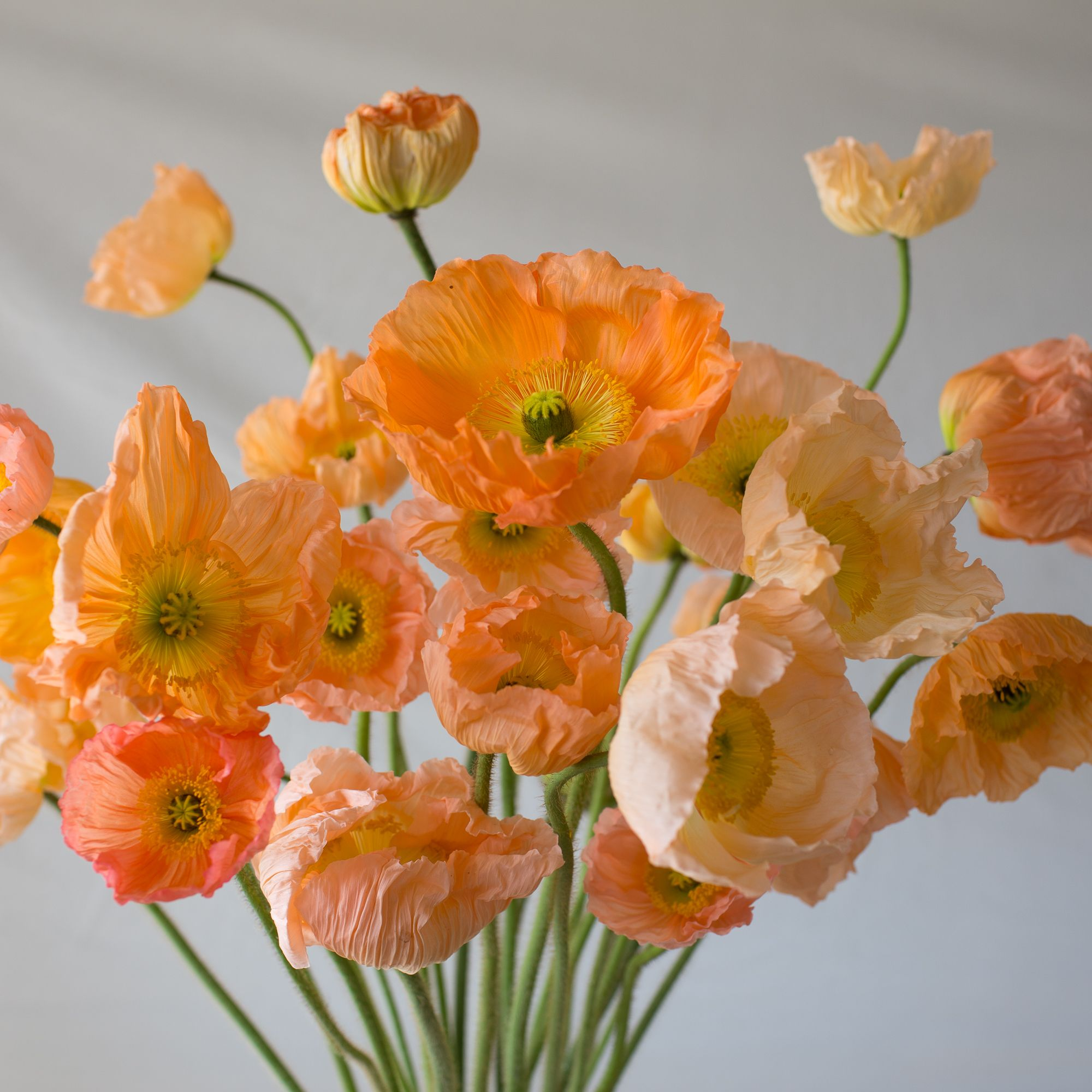Iceland Poppies Giant Peach Pinterest Iceland Flowers And Hardy