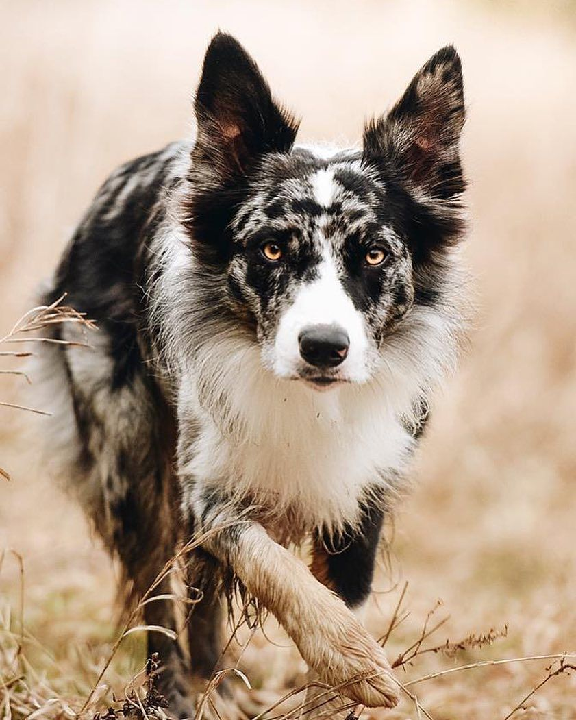 Such A Beautiful Border Collie Border Collie Dog Dogs Collie Dog