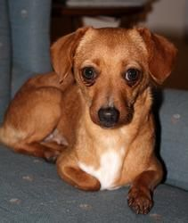 Polly Is An Adoptable Dachshund Dog In Harpers Ferry Wv Polly