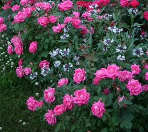 Pink Double Knock Out®Rose #knockoutrosen