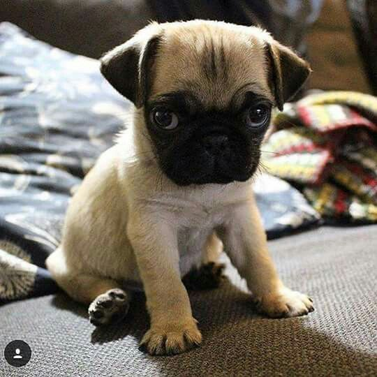 What A Face Cute Pugs Puppies Cute Animals