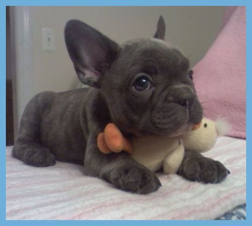 Reviews On French Bulldog Breeder In San Francisco Bay Area Ca
