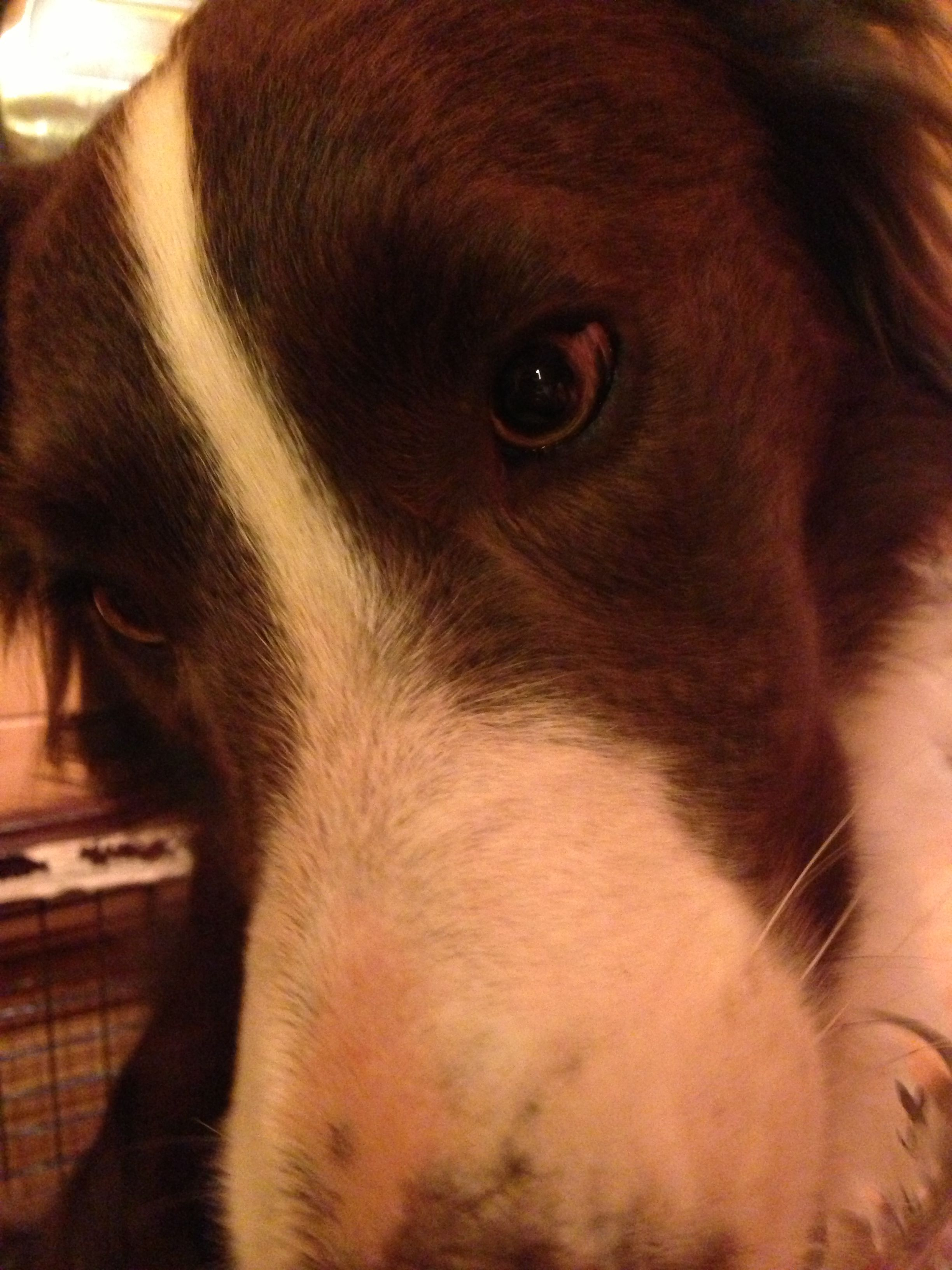Boarder Collie.   Bruce.