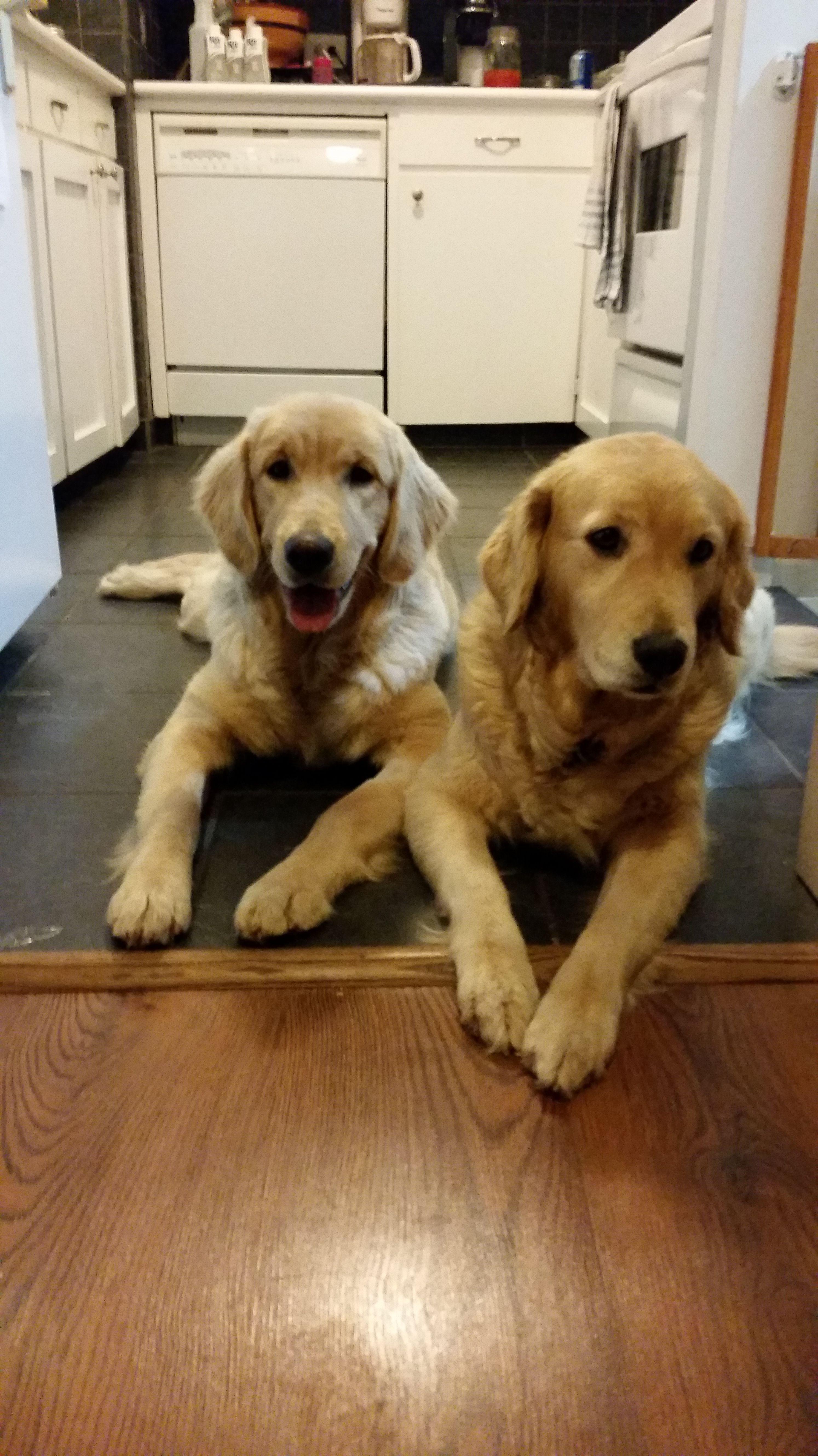 Nola Golden Retriever Pawshake Golden Retriever Dogs And