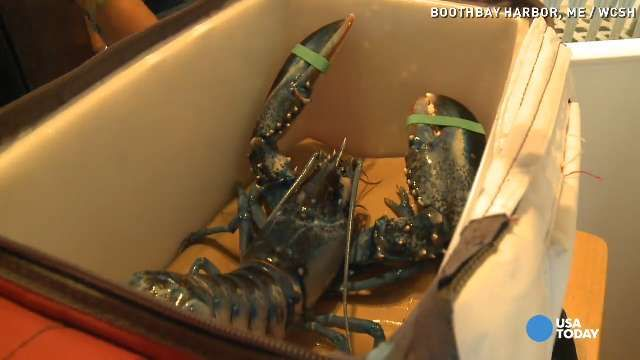 Blue lobster gets new home at Maine State Aquarium