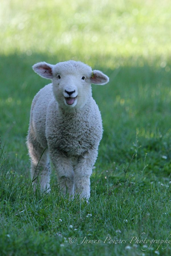 New Zealand Babe by James Powers on 500px Schapen