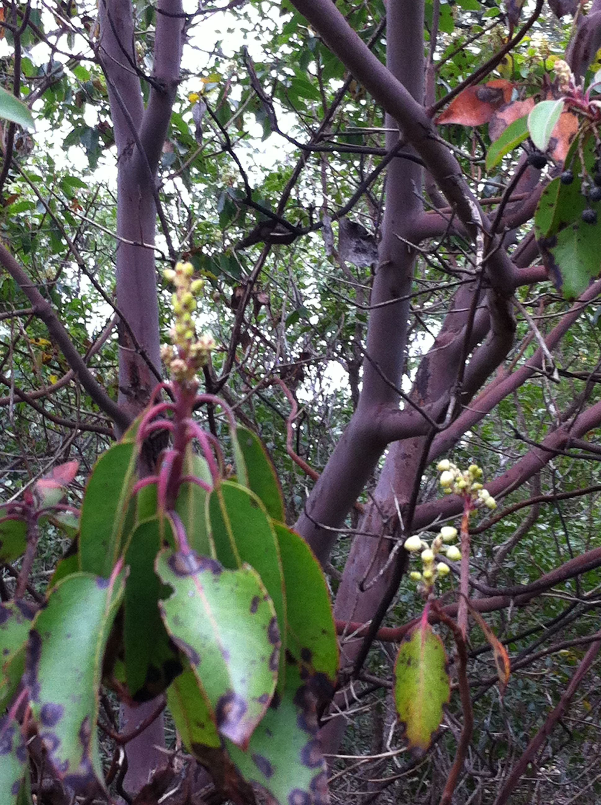 madrone blooms